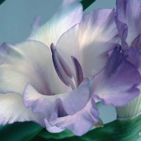 Gladiolus Lavender
