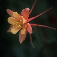 Columbine - Soft Pink-Yellow