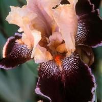 Liaison Iris