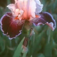 Iris - Liaison