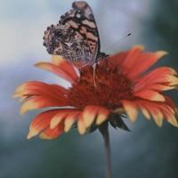 Gaillardia & Butterfly