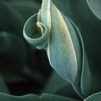 Spring Green Tulip Bud
