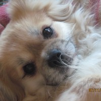 Tibetan Spaniel Photos - By Evelyn Williams
